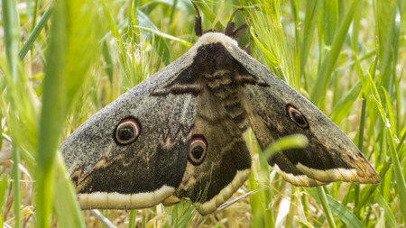 giant emperor moth in the grass Stock Photo