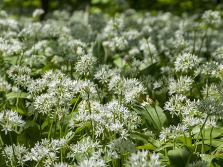 低地の森林で開花野生ニンニク 写真素材