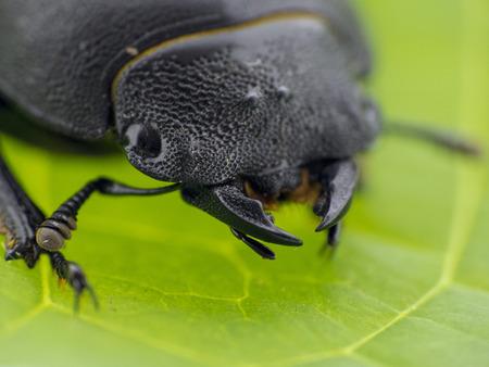 insecta: Black leaf beetle - Prasocuris Junci Stock Photo