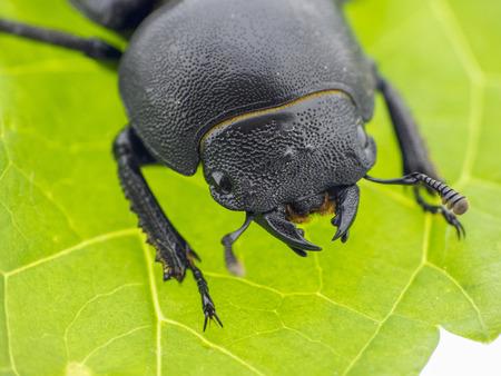 黒いハムシ - Prasocuris Junci