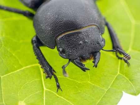 pronotum: Black leaf beetle - Prasocuris Junci Stock Photo