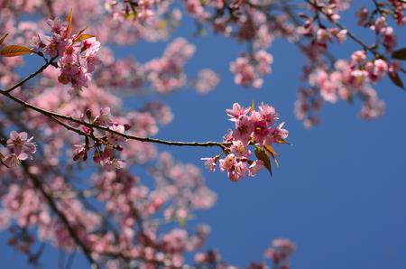 doi: Thai Cherry Blossom at Doi Angkhang, Chiangmai, Thailand