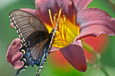 vegatation: A swallow tail butterfly takes time to eat from a multicolored day Lilly, Stock Photo