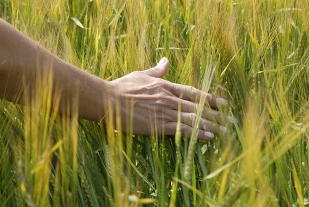 hand passes over the cornfield Stock Photo