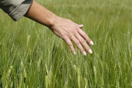 cosecha de trigo: maizal Foto de archivo
