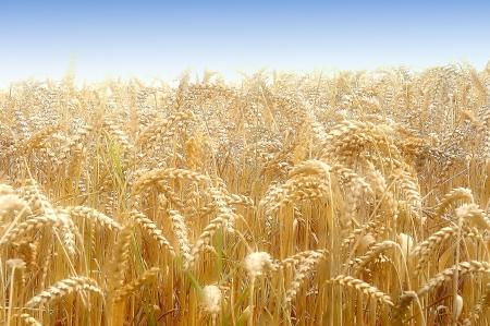 haver veld: korenveld