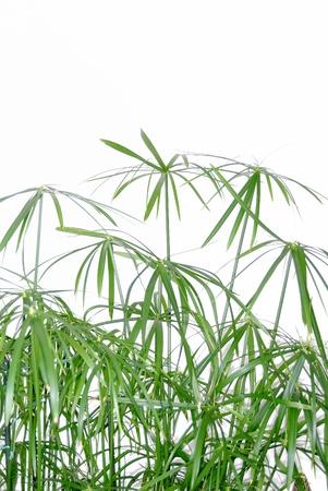cyperus papyrus photo