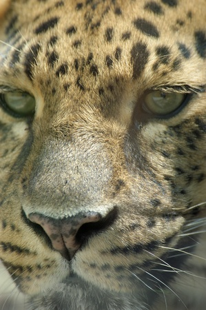 vivarium: leopard