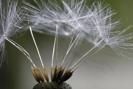 sch: dandelion