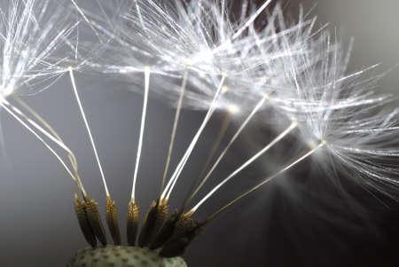 mayflower: dandelion
