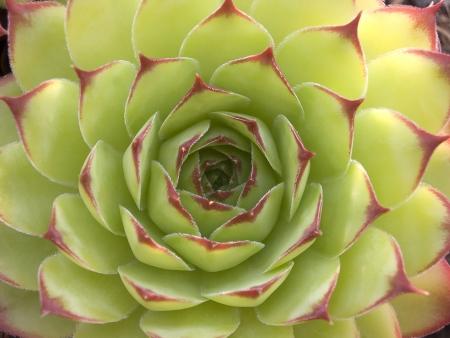 crassula: Succulent