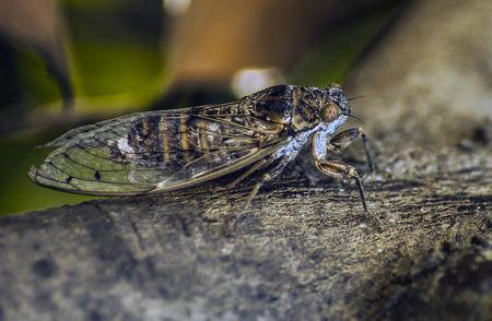 cigarra: Cicada