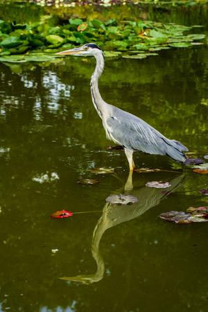herodias: Wild heron