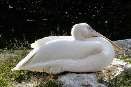 Wild pelican Stock Photo