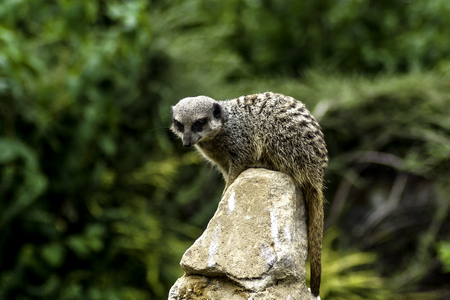 Timon - wild meerkat  suricate on watch