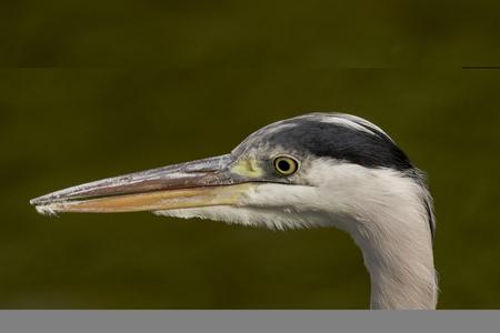 Wild heron on hunt - portrait  United Kingdom Stock Photo