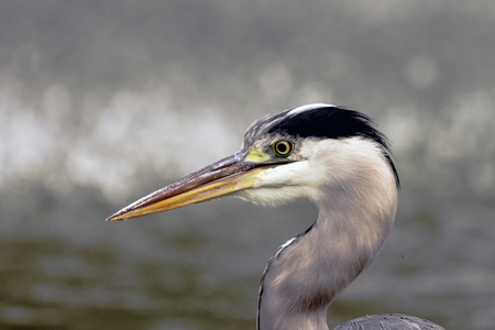 Wild heron on hunt - portrait  United Kingdom Stock Photo