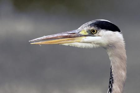 gray herons: Wild heron on hunt - portrait  United Kingdom Stock Photo