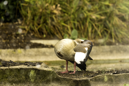 alopochen: Egyptian goose cleaning itself Stock Photo