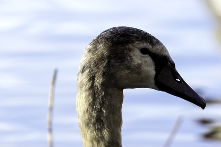Young Swan - portrait - Bedfont Lakes Country Park, London