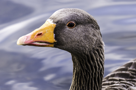 Wild greylag goose (Anser anser) in Bedfont Lakes Country Park - London, United Kingdom