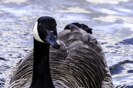 Canada goose swimming in Bedfont Lakes Country Park - London, United Kingdom