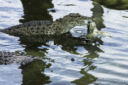 Eating Cuban crocodile (Crocodylus Rhombifer) is a small species of crocodile endemic to Cuba - Peninsula de Zapata National Park / Zapata Swamp, Cuba