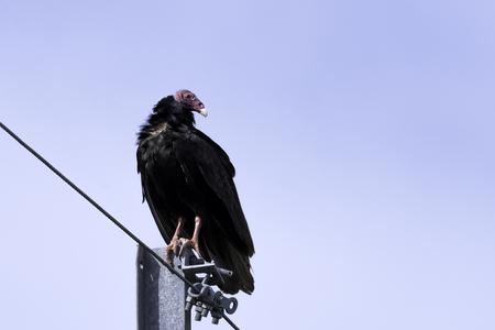Turkey Vulture (cathartes aura), also known as the Turkey Buzzard, John Crow or Carrion Crow - Peninsula de Zapata National Park / Zapata Swamp, Cuba Stock Photo
