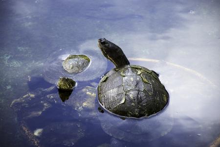 Cuban slider (Trachemys decussata), turtle native to Cuba - Peninsula de Zapata National Park  Zapata Swamp, Cuba