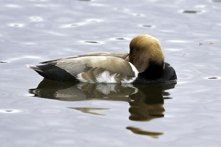Red-crested pochard (Netta rufina) - large diving duck Stock Photo
