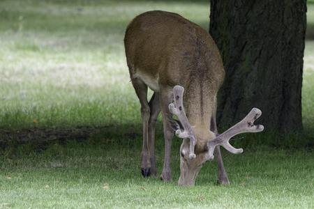 Wild male deer