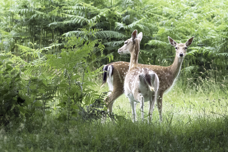 Wild young deer in London, United Kingdom