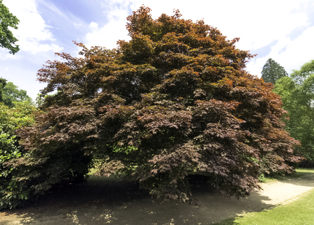 Fagus Sylvatica Purpurea, also known as Copper Beech or Purple Beech - Uckfield, United Kingdom