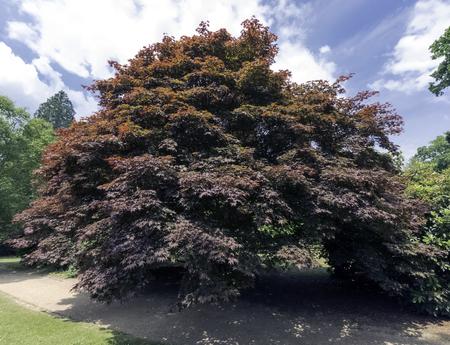 Fagus Sylvatica Purpurea, auch bekannt als Copper Beech oder Purple Beech - Uckfield, Großbritannien