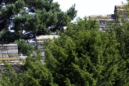 Golden eagle (Aquila chrysaetos) on the castle wall