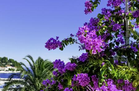Bougainvillea flower known as Napoleon, jahanamiya, veranera , trinitaria, Santa Rita, papelillo, primavera, Drillingsblume or vukamvilia in Podgora, Makarska Riviera, Dalmatia, Croatia Banco de Imagens