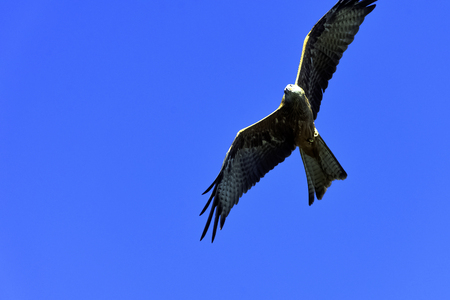 Flying red kite (Milvus milvus) in Warwick, Warwickshire, United Kingdom Banque d'images