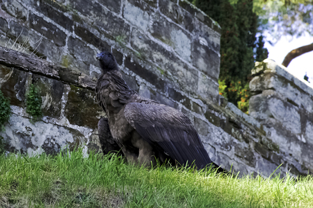 Young Andean condor (Vultur gryphus)