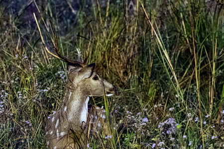 Young chital or cheetal (Axis axis), also known as spotted deer or axis deer male walking - Jim Corbett National Park, India 版權商用圖片
