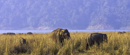 Indian elephants (Elephas maximus indicus) with Ramganga Reservoir in background - Jim Corbett National Park, India