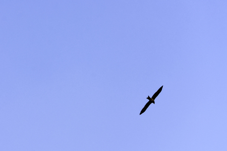 Indian spotted eagle (Clanga hastata) on the blue sky over Jim Corbett National Park, India 写真素材