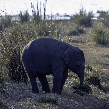 Baby Indian elephant (Elephas maximus indicus) with Ramganga Reservoir in background - Jim Corbett National Park, India