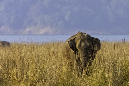 Indian elephant (Elephas maximus indicus) with Ramganga Reservoir in background - Jim Corbett National Park, India