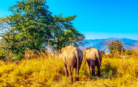 Indian elephants (Elephas maximus indicus) in Jim Corbett National Park, India
