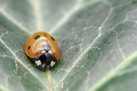 Coccinella septempunctata, known as seven-spot ladybird, seven-spotted ladybug, C-7 or seven-spot lady beetle on the leaf