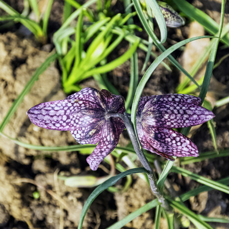 Fritillaria meleagris known as leper lily, snake's head fritillary, chess flower, frog-cup, Lazarus bell, chequered lily, chequered daffodil, drooping tulip, guinea-hen or guinea flower Stock fotó
