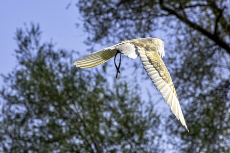 Flying common barn owl  (Tyto alba) 版權商用圖片