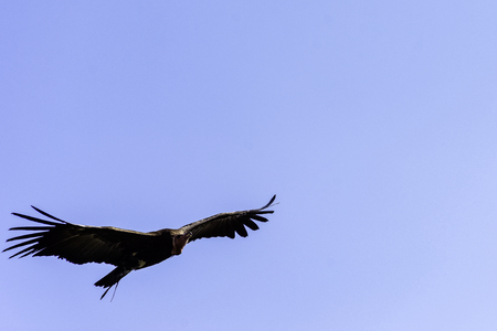 Flying lappet-faced vulture (Torgos tracheliotos) also known as Nubian vulture