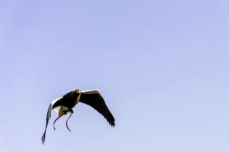 Flying steller's sea eagle (Haliaeetus pelagicus) Stock Photo