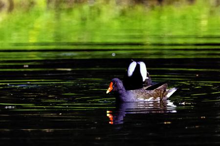 Eurasian common moorhen (Gallinula chloropus) also known as marsh hen, waterhen and swamp chicken - swimming in Octagon Lake 版權商用圖片